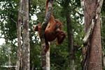 Young orang-utan grasping a woody liana while pondering (Kalimantan, Borneo (Indonesian Borneo))