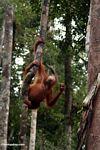 Young orang-utan grasping a woody liana (Kalimantan, Borneo (Indonesian Borneo))