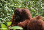 Orang family (Kalimantan, Borneo (Indonesian Borneo))
