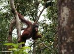 Orang climbing while eating bananas (Kalimantan, Borneo (Indonesian Borneo))