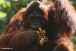 Mother orangutan eating bananas while holding infant (Kalimantan, Borneo (Indonesian Borneo))