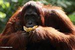 Mother orang eating banana while holding infant (Kalimantan, Borneo (Indonesian Borneo))