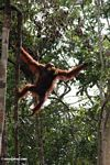 Orangutan climbing while holding a bunch of bananas in its mouth (Kalimantan, Borneo (Indonesian Borneo))