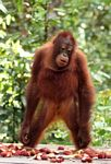 Young orangutan standing on feeding platform (Kalimantan, Borneo (Indonesian Borneo))