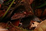 Brown leaf frog hidden among litter on forest floor (Kalimantan, Borneo (Indonesian Borneo))