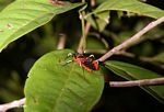 Red weevil-like insect with yellow and black legs (Kalimantan, Borneo (Indonesian Borneo))
