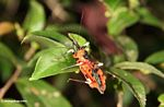 Red beetle-like insect with yellow and black legs (Kalimantan, Borneo (Indonesian Borneo))