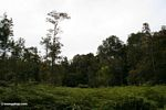 Deforested patch of forest in Borneo (Kalimantan, Borneo (Indonesian Borneo))