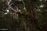 Staghorn ferns (Kalimantan, Borneo (Indonesian Borneo))