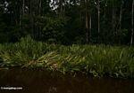 Buaya sarang situs di lillies air di sepanjang Sungai Sekonyer (Kalimantan, Borneo (Borneo Indonesia))
