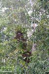 Staghorn ferns growing up tree (Kalimantan, Borneo (Indonesian Borneo))