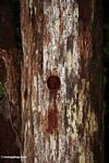 Tree hollow created by a woodpecker (Kalimantan, Borneo (Indonesian Borneo))