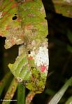 Unknown bright red insect (Kalimantan, Borneo (Indonesian Borneo))
