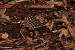 Yellow-spotted butterfly in leaf litter (Kalimantan, Borneo (Indonesian Borneo))