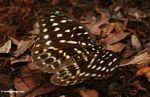 Yellow-, green-, and orange-spotted butterfly in leaf litter (Kalimantan, Borneo (Indonesian Borneo))