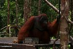 Large red male adult Borneo Orangutan on feeding platform at Pondok Tanggui (Kalimantan, Borneo (Indonesian Borneo))