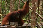 Ex-captive adult male Borneo Orang-utan (Pongo pygmaeus) drinking at Pondok Tanggui (Kalimantan, Borneo (Indonesian Borneo))
