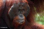 Ex-captive jantan dewasa Borneo Orang-utan (Pongo pygmaeus) (Kalimantan, Borneo (Borneo Indonesia))
