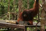 Adult male Borneo Orangutan on feeding platform at Pondok Tanggui (Kalimantan, Borneo (Indonesian Borneo))