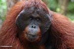 Adult male Borneo Orangutan (Pongo pygmaeus) at Pondok Tanggui (Kalimantan, Borneo (Indonesian Borneo))