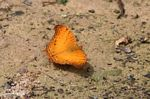 Orange butterfly on forest floor in Borneo (Kalimantan, Borneo (Indonesian Borneo))