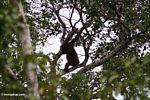 Wild adult orangutan (Kalimantan, Borneo (Indonesian Borneo))