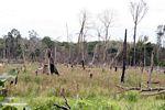 Charred stumps left after slash-and-burn of rainforest (Kalimantan, Borneo (Indonesian Borneo))