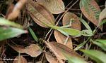 Green Bronchocela cristatella lizard (Kalimantan, Borneo (Indonesian Borneo))