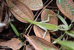 Green Crested Lizard (Bronchocela cristatella) (Kalimantan; Borneo (Indonesian Borneo))