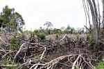 Patch of jungle that has been slash-and-burned in Borneo (Kalimantan, Borneo (Indonesian Borneo))