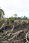 Section of jungle that has been cut for swidden agriculture in Borneo (Kalimantan, Borneo (Indonesian Borneo))