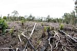 Section of rainforest that has been cut for small-scale agriculture in Borneo (Kalimantan, Borneo (Indonesian Borneo))