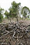 Fallen tree limbs from an attempt to slash-and-burn an area of rain forest for agricultural use (Kalimantan; Borneo (Indonesian Borneo))