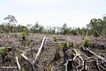 Remains of rainforest after it has been slash-and-burned (Kalimantan, Borneo (Indonesian Borneo))