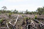 Sisa hutan hujan setelah telah slash-dan-terbakar (Kalimantan, Borneo (Borneo Indonesia))