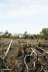 Slash-dan-bakar pertanian di hutan hujan Kalimantan (Kalimantan, Borneo (Borneo Indonesia))