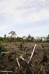 Slash-and-burn agriculture in the Borneo jungle (Kalimantan; Borneo (Indonesian Borneo))