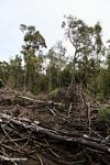 Charred forest remains from slash-and-burn agriculture (Kalimantan, Borneo (Indonesian Borneo))