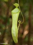 Nepenthes reinwardtiana pitcher plant in Borneo rainforest (Kalimantan, Borneo (Indonesian Borneo))