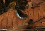 Black butterfly with blue posterior wing sections, resting on a fallen leaf on the forest floor (Kalimantan, Borneo (Indonesian Borneo))
