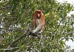 Adult male Proboscis monkey (Kalimantan, Borneo (Indonesian Borneo))