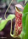 Red pitcher plant (Nepenthes rafflesiana) (Kalimantan, Borneo (Indonesian Borneo))