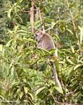 Long-tailed macaque (Macaca fascicularis) in a fruit tree (Kalimantan, Borneo (Indonesian Borneo))