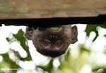 Long-tailed macaque (Macaca fascicularis) peeking over a roof so only its head is visible (Kalimantan, Borneo (Indonesian Borneo))