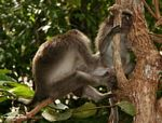 Long-tailed macaques grooming (Kalimantan, Borneo (Indonesian Borneo))