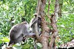 Long-tailed macaque looking for parasites in the fur of its partner (Kalimantan, Borneo (Indonesian Borneo))