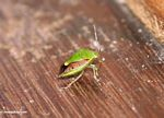 Unknown iridescent green and brown insect (Kalimantan, Borneo (Indonesian Borneo))