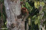 Female proboscis monkey in tree (Kalimantan, Borneo (Indonesian Borneo))