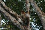 Proboscis monkey in tree (Kalimantan, Borneo (Indonesian Borneo))