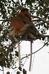 Proboscis monkeys huddled in tree (Kalimantan, Borneo (Indonesian Borneo))